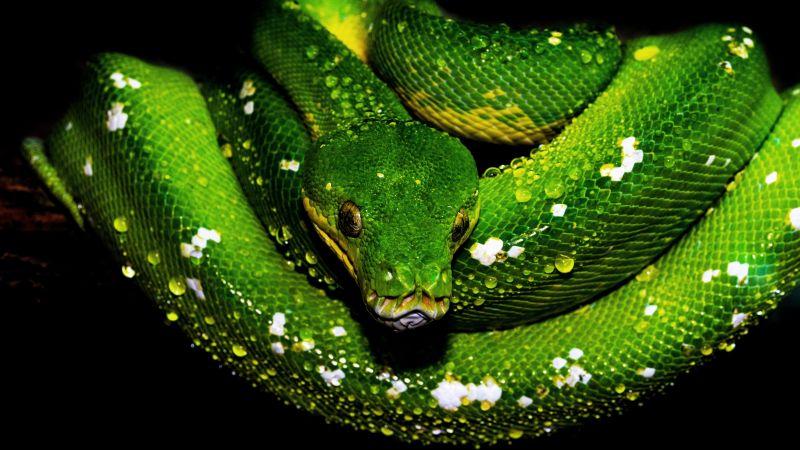 Tree Python, Green snake, Green Python, Water drops, Illustration Drawing, Dark background, 5K, Wallpaper