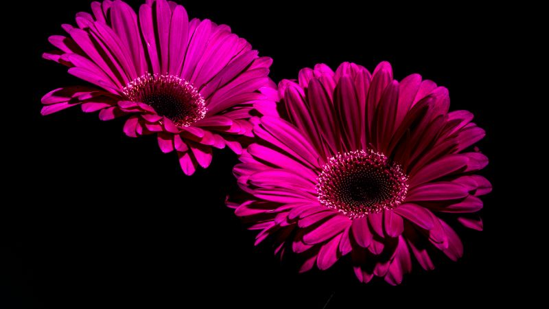 Gerbera Daisy, Purple Flowers, Black background, Macro, Closeup, 5K, Wallpaper