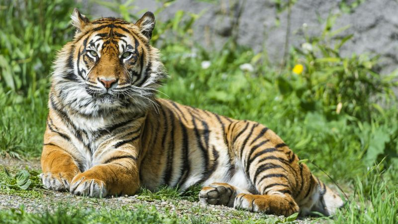Sumatran tiger, Big cat, Wild animal, Green Grass, Stare, Predator, Carnivore, Zoo, Wallpaper