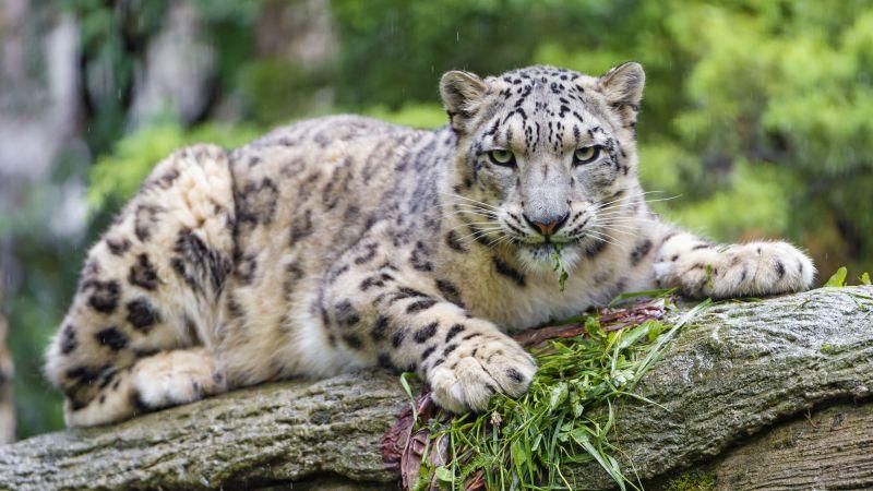 Snow leopard, Wild Cat, Predator, Carnivore, Zoo, Stare, 5K, Wallpaper