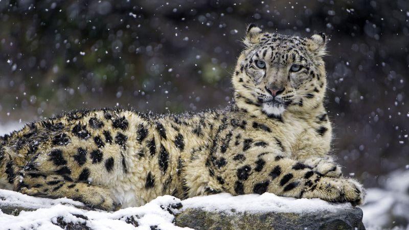 Snow leopard, Winter, Big cat, Wildlife, Predator, Carnivore, Zoo, 5K, Wallpaper