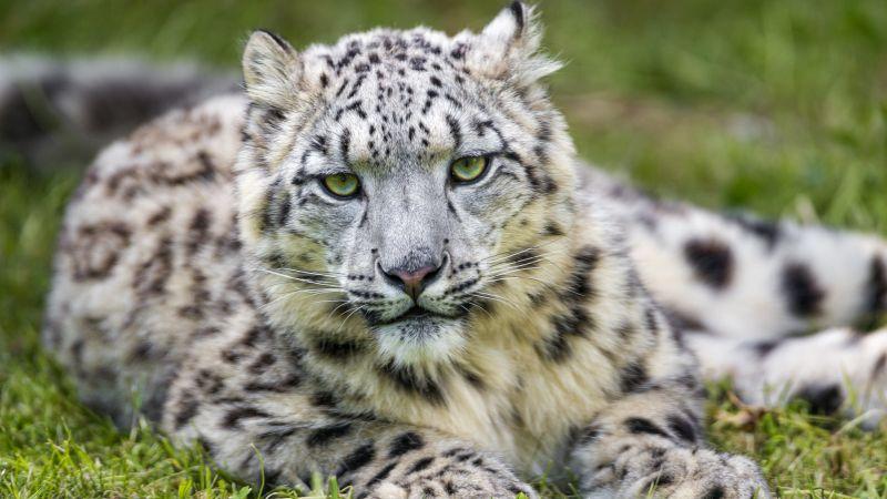 Snow leopard, White, Green Grass, Big cat, Wild animal, Predator, Carnivore, Stare, 5K, Wallpaper