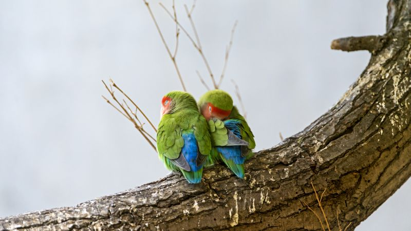 Rosy Faced Lovebirds, Peach Faced Lovebirds, Bird Couple, Tree Branch, Colorful, Cute bird, Wallpaper