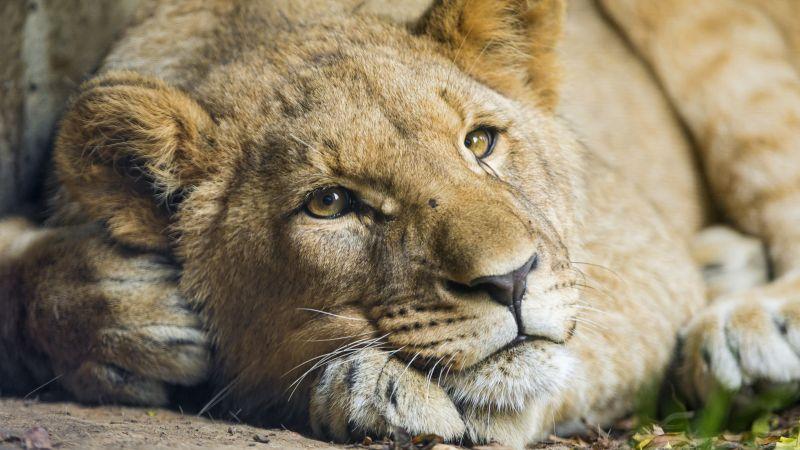 African Lion, Cub, Big cat, Young Lion, Zoo, Wild, Predator, Carnivore, 5K, Wallpaper