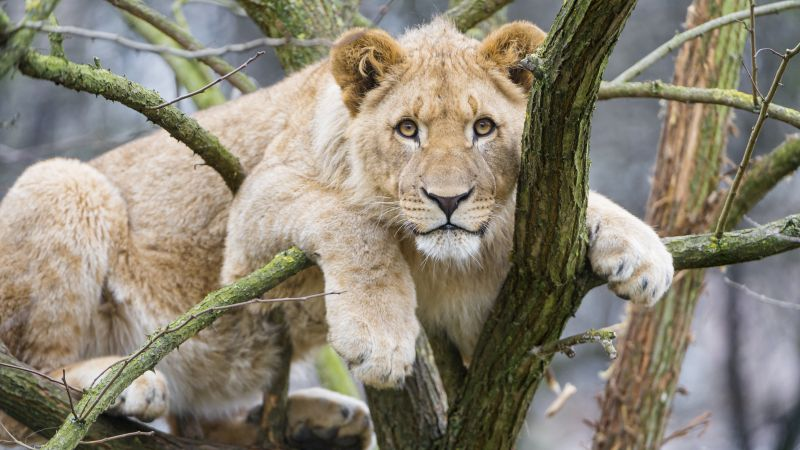 Young Lioness, Cub, Tree Branches, Big Cat, African Lion, Zoo, Predator, Carnivore, 5K, Wallpaper