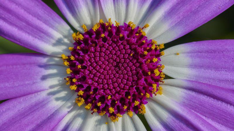 Purple Flower, macro, Closeup, Petals, Blossom, Bloom, Spring, Pericallis senetti, Wallpaper