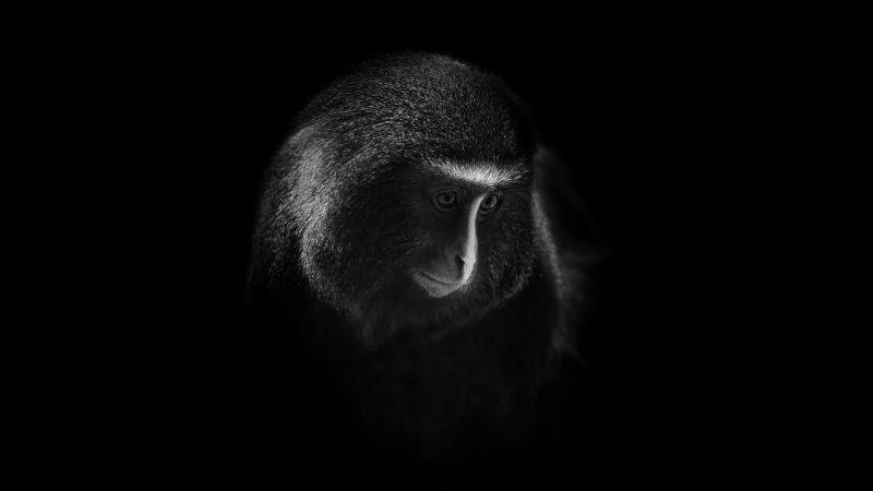 Hamlyn's monkey, Owl-faced monkey, Dark, Black background, 5K, 8K, Wallpaper
