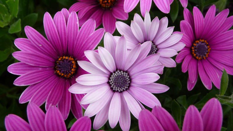Daisy flowers, Purple Flowers, Pink flowers, Garden, Closeup, Bloom, Blossom, Wallpaper