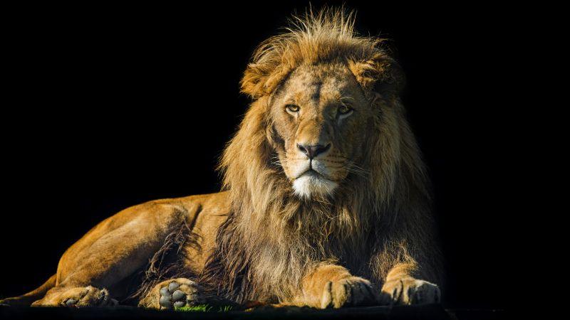 Lion, Male, Zoo, Wild Cat, Black background, 5K, 8K, Wallpaper