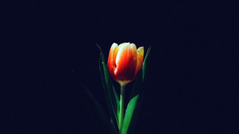 Tulip flower, Orange tulips, Dark background, 5K, Wallpaper