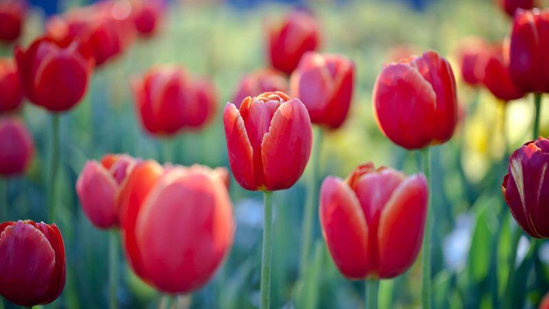 Tulip flowers, Red Tulips, Flower garden, Floriade, Canberra, Spring, Blossom, Bloom, Wallpaper