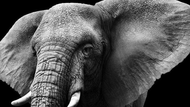 Elephant, Monochrome, Black background, Closeup, Wallpaper
