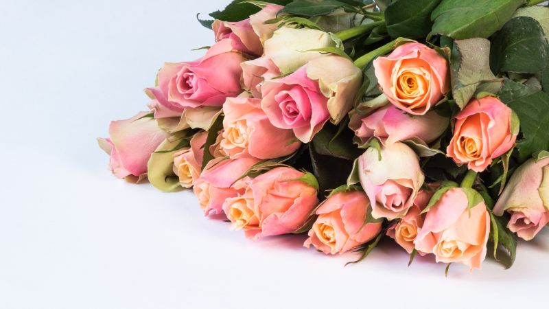 Pink Roses, Green leaves, Flower bouquet, White background, Beautiful, Blossom, 5K, Wallpaper