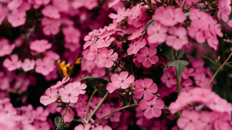 Pink flowers, Bokeh, Floral, Blossom, Bloom, Spring, Closeup, Beautiful, 5K, Wallpaper