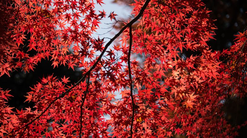 Maple Tree, Red leaves, Autumn, Tree Branches, 5K, Wallpaper