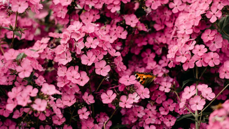 Pink flowers, Closeup, Floral Background, Blossom, Bloom, Spring, Vibrant, 5K, Wallpaper
