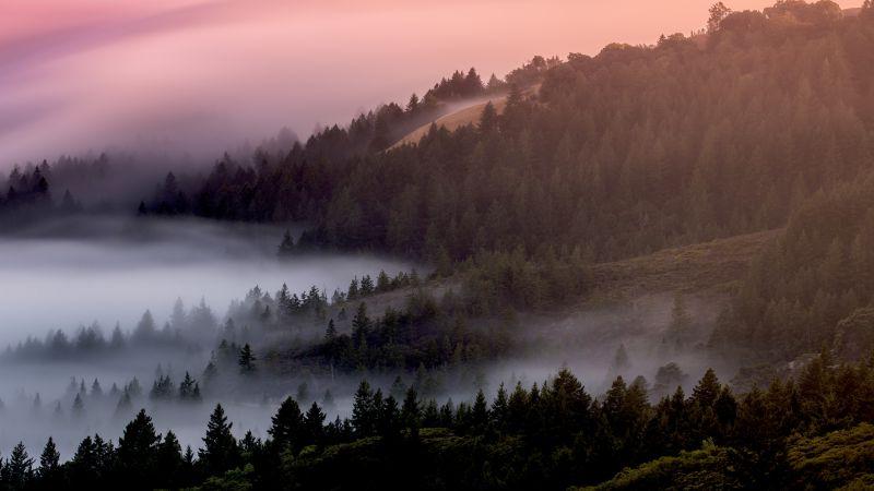 Forest, Foggy, Mist, Pine trees, Early Morning, 5K, Wallpaper