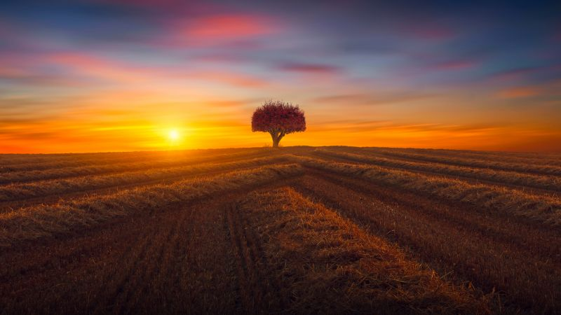 Lone tree, Agriculture, Fields, Sunset, Evening, Landscape, Scenery, Countryside, 5K, Wallpaper