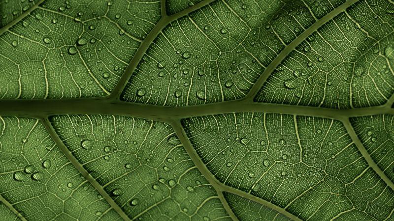 Green leaf, Veins, Pattern, Water Drops, macro, Closeup, 5K, Wallpaper