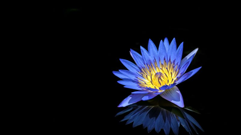 Water Lilly, Blue flower, Black background, Reflection, 5K, Wallpaper