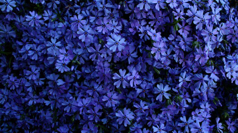 Blue flowers, Floral Background, Blossom, Garden, Beautiful, 5K, Wallpaper