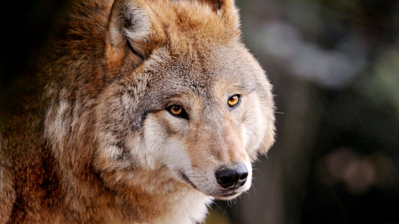 Wolf, Wild animal, Zoo, Canine, Closeup, Face, Starring, Wallpaper