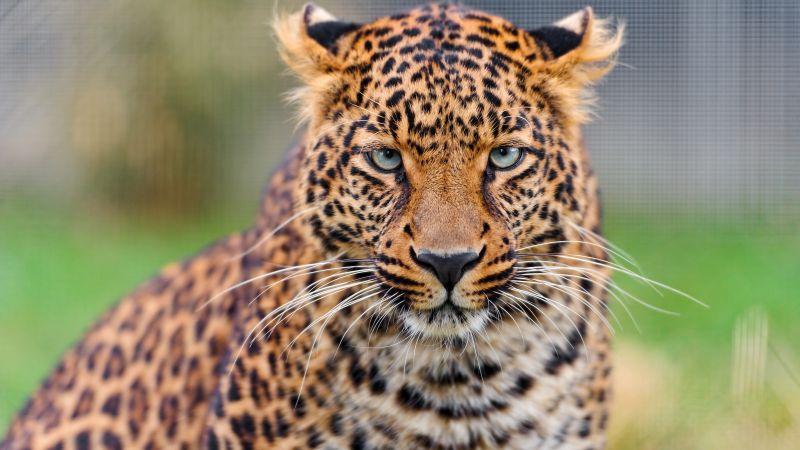 Leopard, Zoo, Wild animal, Closeup, Face, Big cat, Carnivore, Predator, Portrait, Wallpaper