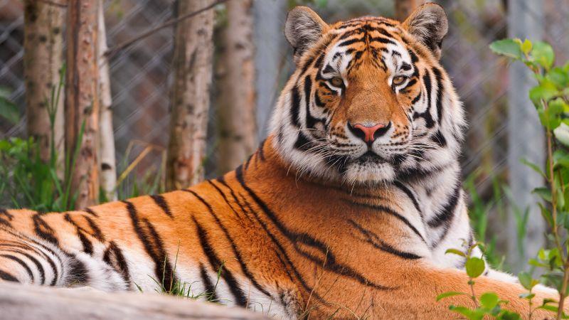 Siberian tiger, Amur tiger, Zoo, Big Cat, Carnivore, Predator, Wild animal, Starring, Wallpaper