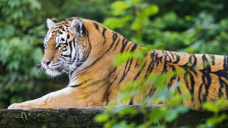 Siberian tiger Tiger, Amur tiger, Young tigress, Wood, Wild Cat, Zoo, Predator, Carnivore, 5K, Wallpaper