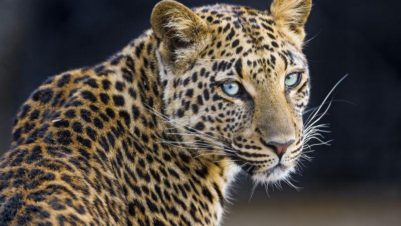 Leopardess, Jaguar, Closeup, Portrait, Big cat, Wild animal, Predator, Carnivore, Face, Wallpaper