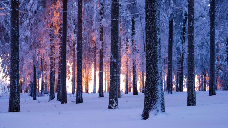 Forest, Winter, Snowy, Norway spruce, Sunset, Snow covered, Cold, Thuringia, Germany, 5K, 8K, Wallpaper