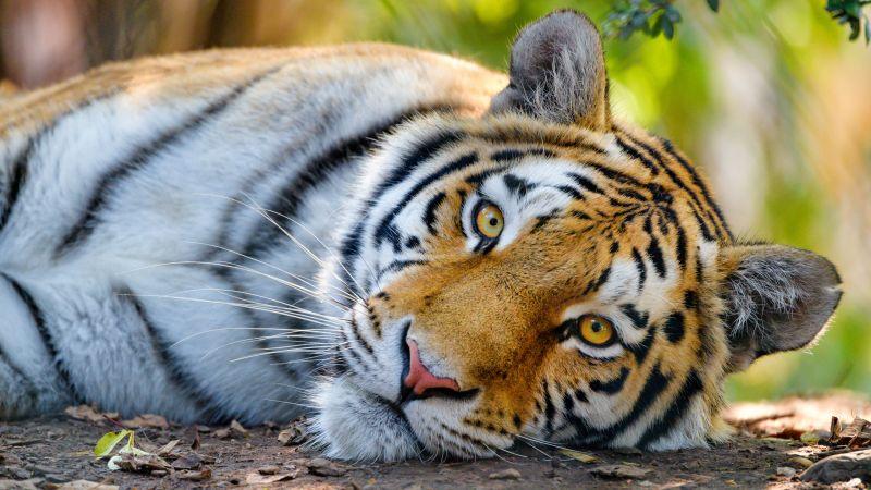 Bengal Tiger, Wild, Close up, Big cat, 5K, Wallpaper