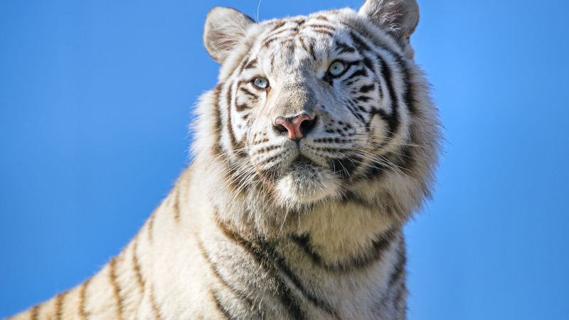 White tiger, Bengal Tiger, Tigress, Blue Sky, 5K, Wallpaper