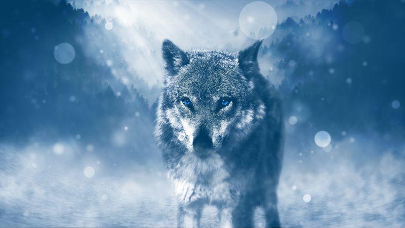Wolf, Predator, Wild animal, Winter, Snowfall, Fog, Cold, Starring, Wallpaper