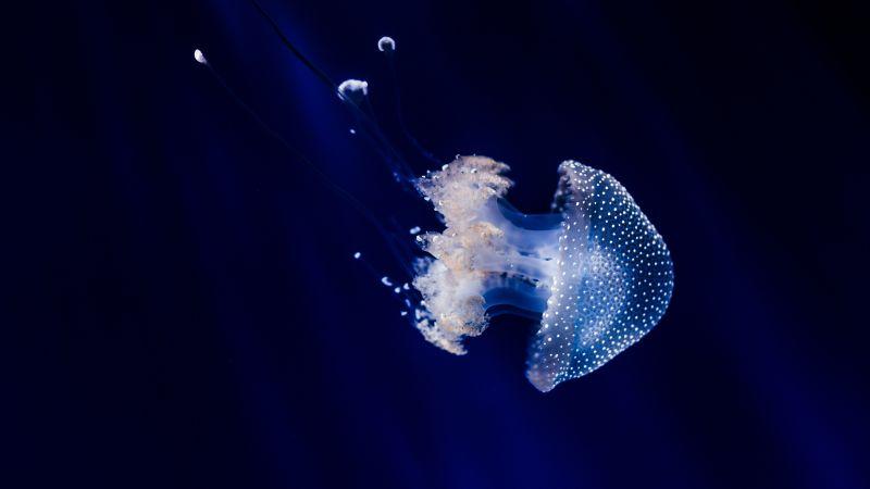 Jellyfish, Blue background, Sea Life, Aquarium, Dark background, Underwater, Glowing, Transparent, Closeup, 5K, Wallpaper