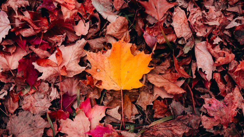 Maple leaves, Autumn, Fallen Leaves, Leaf Background, 5K, Wallpaper