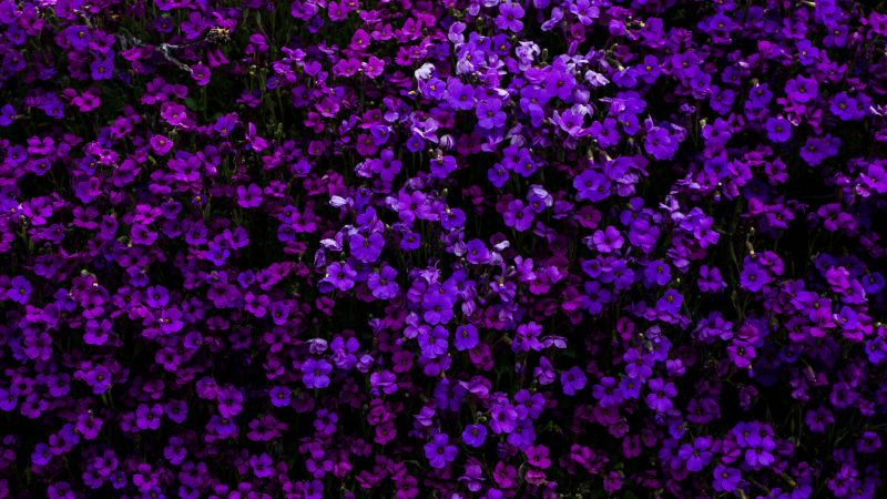 Purple Flowers, Floral Background, Beautiful, Blossom, Garden, Aubrieta Flowers, 5K, Wallpaper