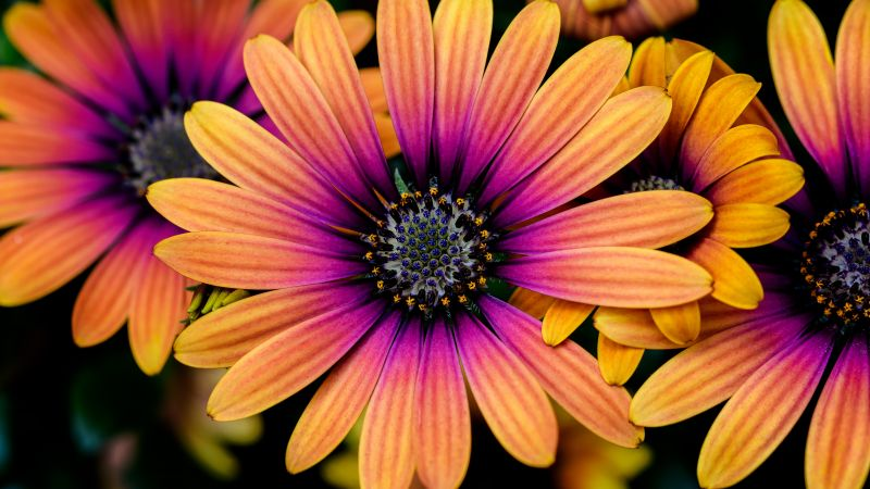 Daisy flowers, Colorful flowers, Yellow, Pink, Closeup, macro, Flower heads, Blossom, Spring, Garden, Floral, 5K, Wallpaper