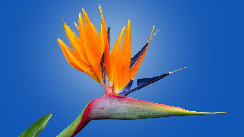 Bird of paradise flower, Crane Flower, Blue background, Orange Flower, petals, Strelitzia, Beautiful, Wallpaper