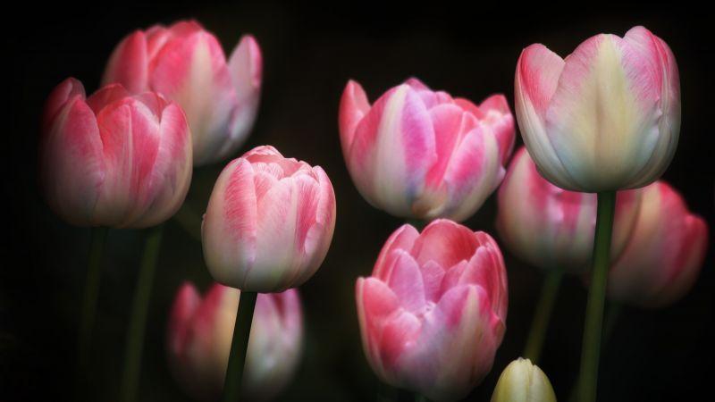 Tulips, Pink flowers, Black background, Spring, Garden, Flora, Bright, Wallpaper
