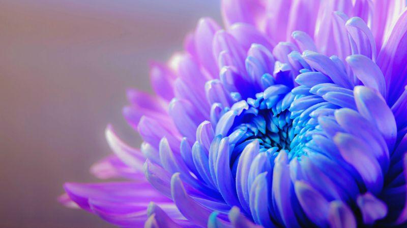 Purple flower, Chrysanthemum, Closeup, macro, Blossom, Bloom, Bokeh, Violet, petals, Wallpaper