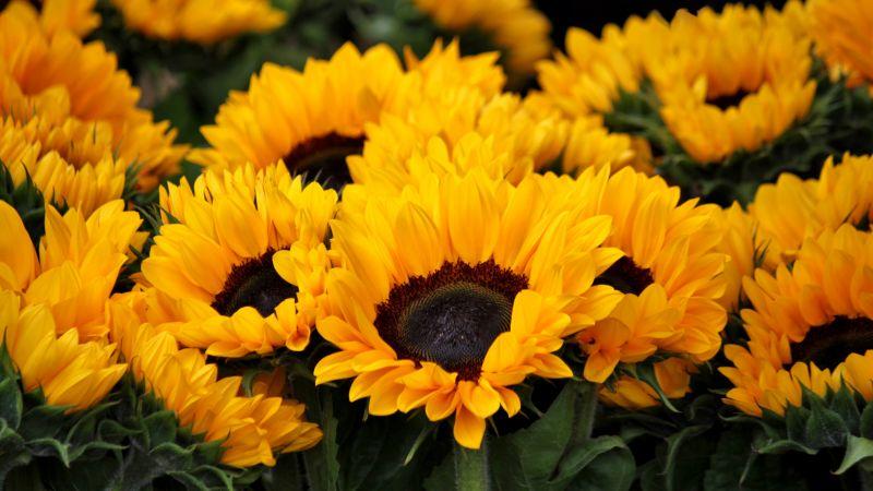 Sunflowers, Blossom, Spring, Floral, Yellow flowers, Closeup, Beautiful, Flower garden, Bright, 5K, Wallpaper