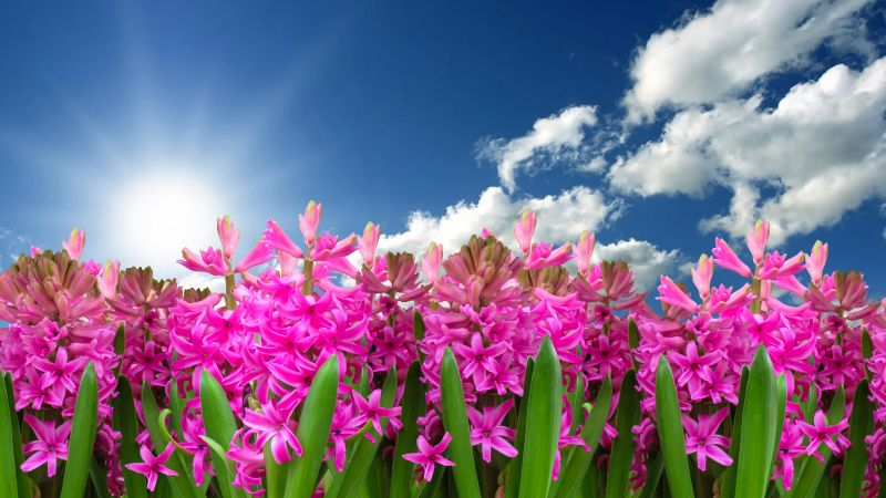 Pink flowers, Hyacinth, Garden, Sun light, Blue Sky, Clouds, Green leaves, Spring, Blossom, 5K, 8K, Wallpaper