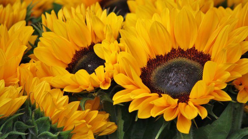 Sunflowers, Blossom, Spring, Floral Background, Yellow flowers, Closeup, Macro, Beautiful, Flower garden, Bright, Petals, 5K, Wallpaper