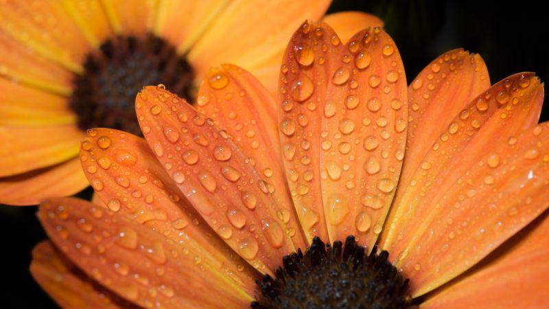 Orange flowers, Daisy flowers, Close up, Macro, Water drops, Dew Drops, Petals, Blossom, Bloom, Wet, 5K, Wallpaper