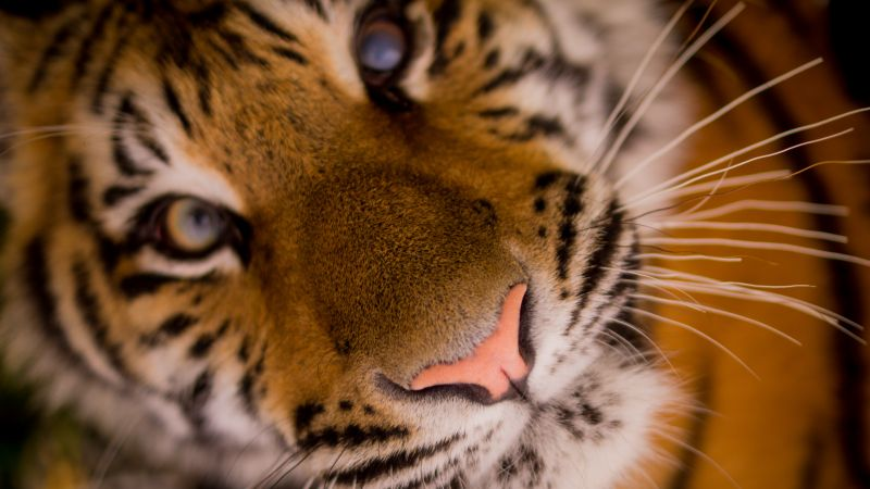 Tiger face, Closeup, Wild Animal, Predator, Carnivore, Big cat, Portrait, Mammal, 5K, Wallpaper