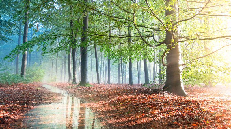Forest, Sunlight, Tree Branches, Path, Fallen Leaves, Woods, Sunshine, 5K, Wallpaper