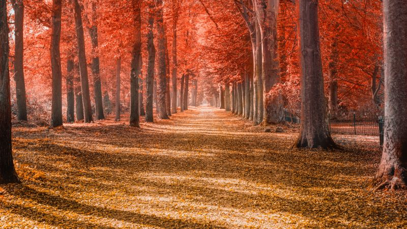Autumn trees, Forest path, Trunks, Woods, Autumn leaves, Red, Fallen Leaves, Daytime, Shadow, Pattern, Scenery, 5K, Wallpaper