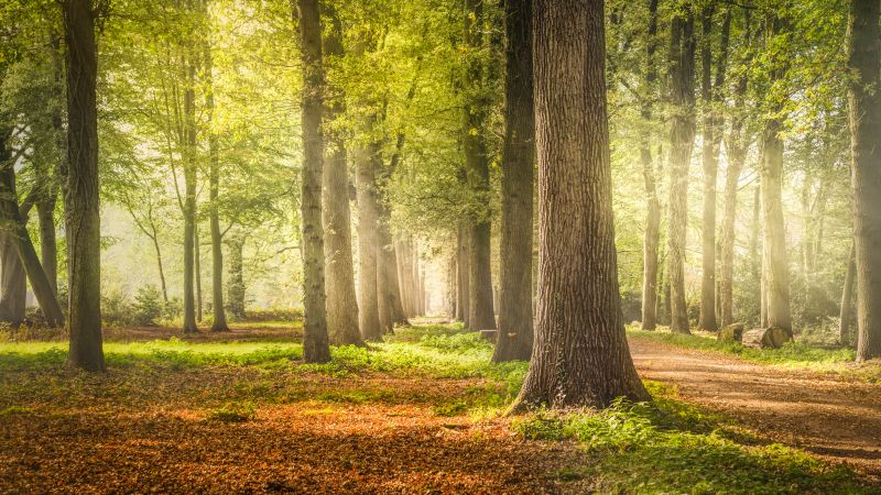 Woodland, Forest Trees, Dirt road, Fallen Leaves, Greenery, Woods, Sunshine, Pathway, Scenery, Sunrays, Shadow, Daytime, Tree Branches, 5K, Wallpaper