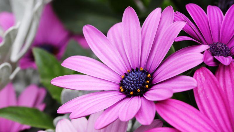 Daisy flowers, Purple flowers, Pink flowers, Bokeh, Garden, Closeup, macro, Bloom, Blossom, Spring, petals, Floral, 5K, Wallpaper